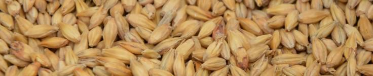 Gerste Getreidekorn